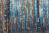 Winter forest nature snow woods background — Foto de Stock