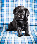Beautiful Black Labrador Puppy Dog — Stock Photo