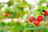 Raspberry. Raspberries. Growing Organic Berries — Stock Photo