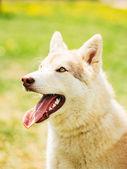 White Adult Siberian Husky Dog (Sibirsky husky) — Stock Photo