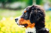Bernese Mountain Dog (Berner Sennenhund) Puppy — Stock Photo