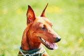 Close Up Brown Dog Miniature Pinscher Head — Stock Photo