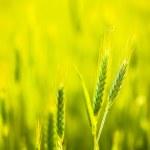 Green wheat in field — Stock Photo #47117801