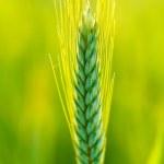 Green wheat in field — Stock Photo #47118297