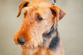 Brown Airedale Terrier dog — Stock Photo