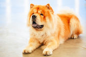 Brown Chines chow chow dog  — Stock Photo