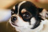 Cane chihuahua nelle vicinanze fino ritratto — Foto Stock
