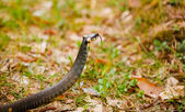 Grass-snake, adder in early spring — Stock Photo