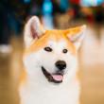 Akita Dog (Akita Inu, Japanese Akita) close up portrait — Stock Photo #49524691