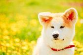 Akita Dog (Akita Inu, Japanese Akita) — Stock fotografie