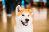 Akita Dog (Akita Inu, Japanese Akita) close up portrait — Foto de Stock