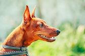 Fechar a cabeça do pinscher miniatura cachorro marrom — Fotografia Stock