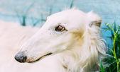 Dog Russian Borzoi Wolfhound — Stock Photo