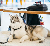 Chien gris adulte siberian husky (sibirsky husky) — Photo