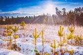 První zasněžené suché žluté trávy v lese — Stock fotografie