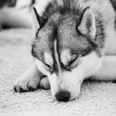 Gray Adult Siberian Husky Dog (Sibirsky husky)  — Stock Photo
