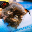 Black Dog Griffon Bruxellois (Brussels, Belge) — Stock Photo #51517033