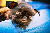 Black Dog Griffon Bruxellois (Brussels, Belge) — Stock Photo