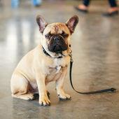 Dog French Bulldog — Stock Photo