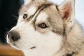Gri yetişkin Sibirya husky köpek (sibirsky husky) — Stok fotoğraf