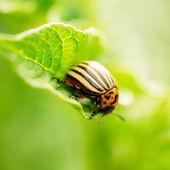 Macro schieten van aardappel bug op blad — Stockfoto
