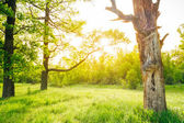 Summer sunny forest trees — Stock Photo