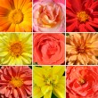 Stock Photo: Corollas beautiful flowers