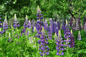 Flowers lupine — Stock Photo