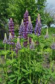 Flowers lupine — Stock Photo