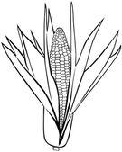 Corn on the cob — Stock Vector