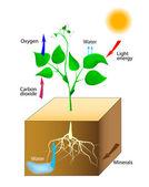 Esquema de la fotosíntesis en las plantas — Vector de stock
