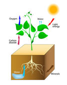 Schematic of photosynthesis in plants — Stock Vector