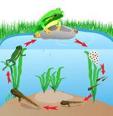 Yaşam döngüsü avrupa ağaç kurbağası — Stok Vektör