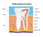 Estructura de diente humano. vector — Vector de stock