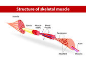 Structure of skeletal muscle — Vettoriale Stock
