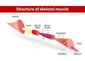 Struktur des skelettmuskels — Stockvektor