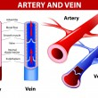 Artery and vein. Vector - Stok Vektör