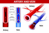 Artery and vein. Vector — Stok Vektör