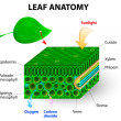 Leaf anatomy — Vettoriali Stock