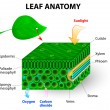 Leaf anatomy — Vector de stock #32715091