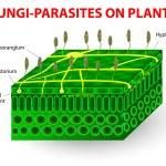 Fungi-parasites on plants — Stock Vector