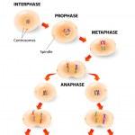 Постер, плакат: Cell division meiosis Vector scheme