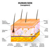 Human skin layer vector cross section — Vettoriale Stock