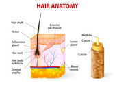 Diagram of a hair follicle in a cross section of skin layers — Stock Vector