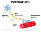 Motor neuron. Vector diagram — Wektor stockowy