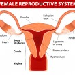 Постер, плакат: Female reproductive system
