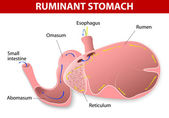 Ruminant stomach — Stock Vector