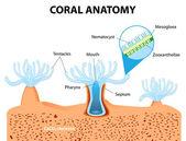 Coral Anatomy. Vector diagram — Stock Vector