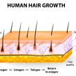 Human hair growth — Vettoriale Stock