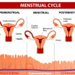 Menstrual cycle — Stock Vector